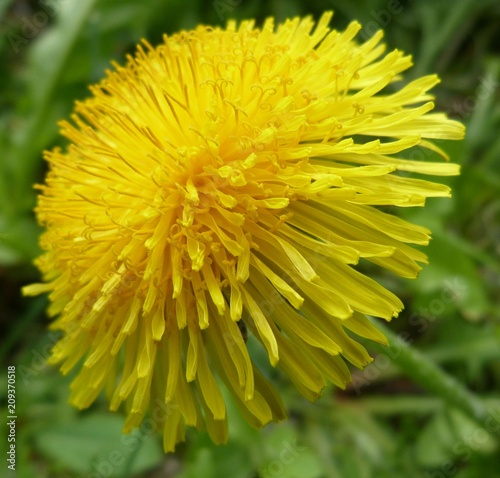 fluffy yellow flower close-up of a dandelion on a summer day