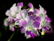 Close up orchid.