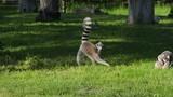 Animal Park, lemur family resting on green grass on open air - 209381344
