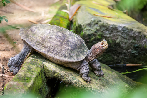 Fotobehang Schildpad A little galapagos (giant) land turtle in Singapore zoo