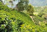 This image shows a coffee plantation in Jerico, Colombia in the state of Antioquia.