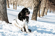 Black and white Newfoundland on the road with snowy trees. Dog on walk in the winter. In thoroughbred dogs nose stained snow. Newfoundland playing in the snow.