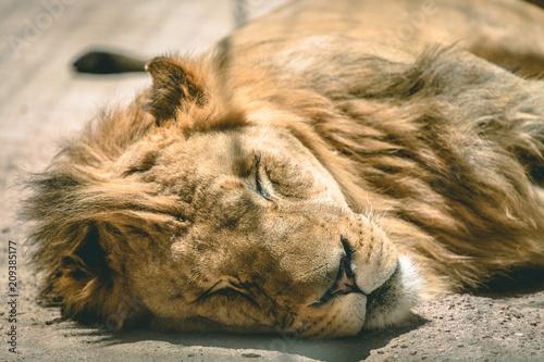 Fotobehang Lion sleepy lion