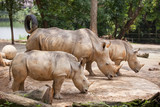 A white rhinoceros, rhino, (Ceratotherium simum) walking on sand in Singapore Zoo - 209389149