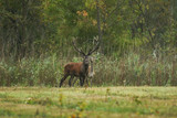male red deer guarding his female during the mating season - 209390131