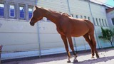 A beautiful red horse stands in the paddock outside, a chestnut stallion - 209392712