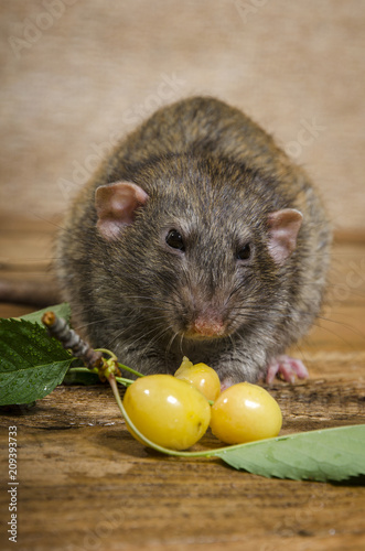 Rat eating yellow cherries on a wooden table.