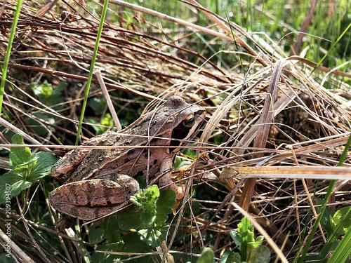 Fotobehang Kikker Frog in the meadow.