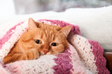red cat in the stove, under the pink plaid at the winter window