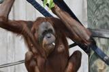 Orangutan in the outdoors - 209404385