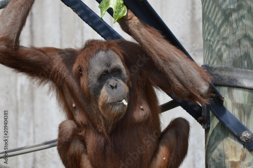 Poster Orangutan in the outdoors