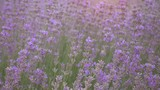 Lavender field at beautiful evening, Provence, France. - 209410595