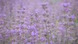 Beautiful tender lavender flowers. - 209413982