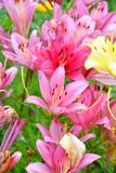 Garden Lily violet color