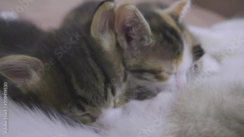 the cat feeds her kittens. kittens suck a tit breast at lifestyle the cat slow motion video. cat mom and kitten