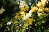 Yellow and white orchids in Singapore