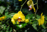 Closeup of yellow orchid in Singapore