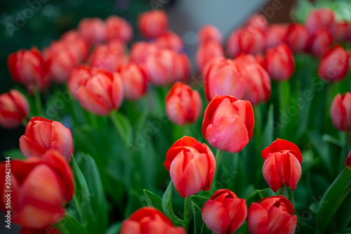 Abstract of red tulips