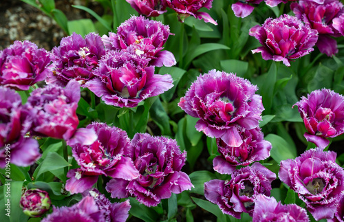 Abstract of pretty purple tulips