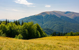 forest on a grassy meadow on top of a hill. beautiful summer landscape with high mountain in the distance - 209428508