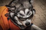 Young alaskan malamute with t-shirt and glasses lays on a linoleum floor. Selective focus. Shallow depth of field. Toned