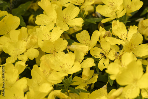 Wall mural Yellow large ornamental flowers in nature and a polluting bee.