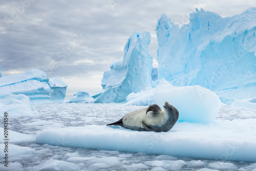 Foto Spatwand Antarctica Crabeater seal resting on pack ice between icebergs, freezing sea, Antarctica