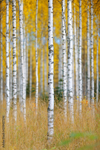 Autumn forest and birch trees - 209437396
