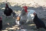 Hühnerfarm - 209438902