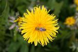 Die Biene auf dem Löwenzahn - 209442544