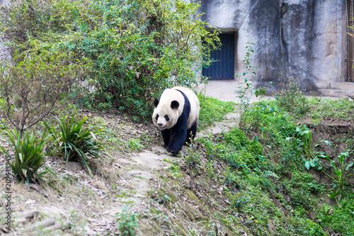 Plexiglas Panda panda in chengdu