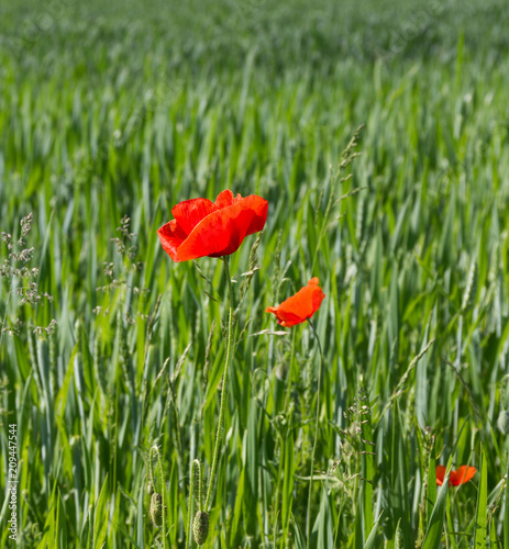 Red poppies on green cereal field.