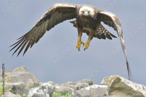 Plexiglas Eagle Golden Eagle in flight