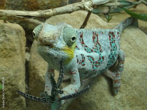 Aluminium Kameleon Farbenprächtiges Chamäleon