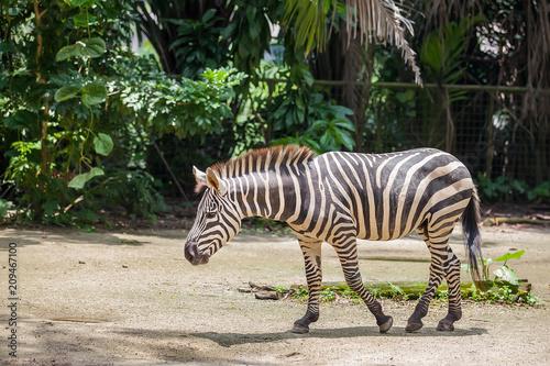 Walking zebra at the zoo