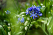 Lila violett blühende Schmucklilie (Agapanthus)