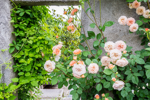 Foto Murales Pink roses in front of a concrete grey garden wall