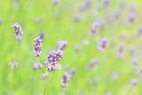 Lavender - 209479536