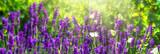 Fototapety schmetterlinge in den lavendelblüten