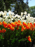 Tulips on a sunny day - 209483708