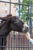 Donkey (Equus asinus) in the Moscow Zoo - 209487382