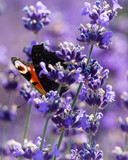 colorful red butterfly on a lavender field flower - 209489555