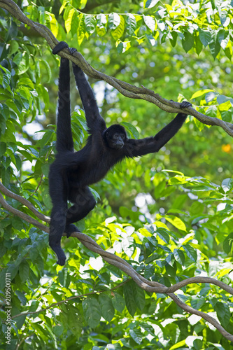 Fotobehang Aap Wild Spider Monkey