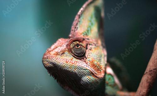 Fototapeta Veiled chameleon (Chamaeleo calyptratus) peeking out of the shade in a dense forest, photographed in Australia.