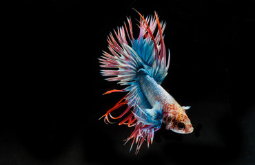Fighting fish, colorful background, Halfmoon betta fish, Siamese fighting fish