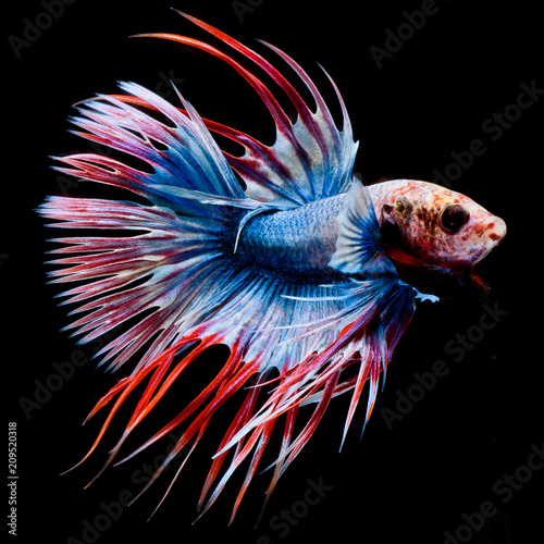 Fighting fish, colorful background, Halfmoon betta fish, Siamese fighting fish - 209520318