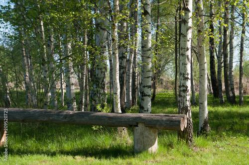 Birch grove, forest in summer