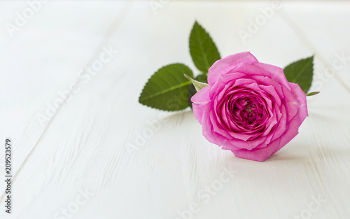 Soft purple rose flower background with copy space