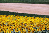 Sunflower field summer season landscape countryside