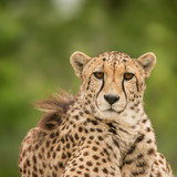 Beautiful close up portrait of Cheetah Acinonyx Jubatus in colorful landscape - 209528173